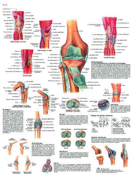 La Articulación de la Rodilla   Anatomical 3D