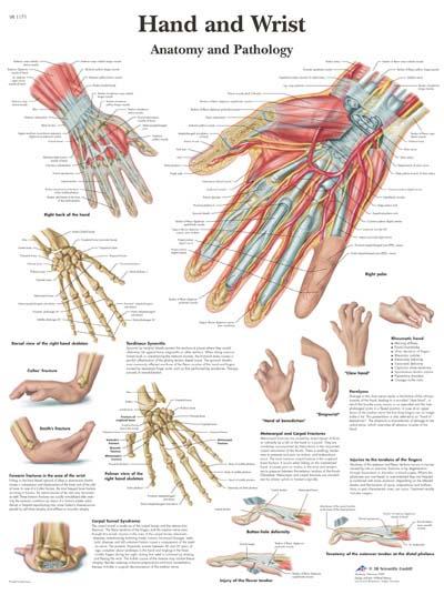 Anatomia y Patologia de la Mano y Muñeca | Anatomical 3D