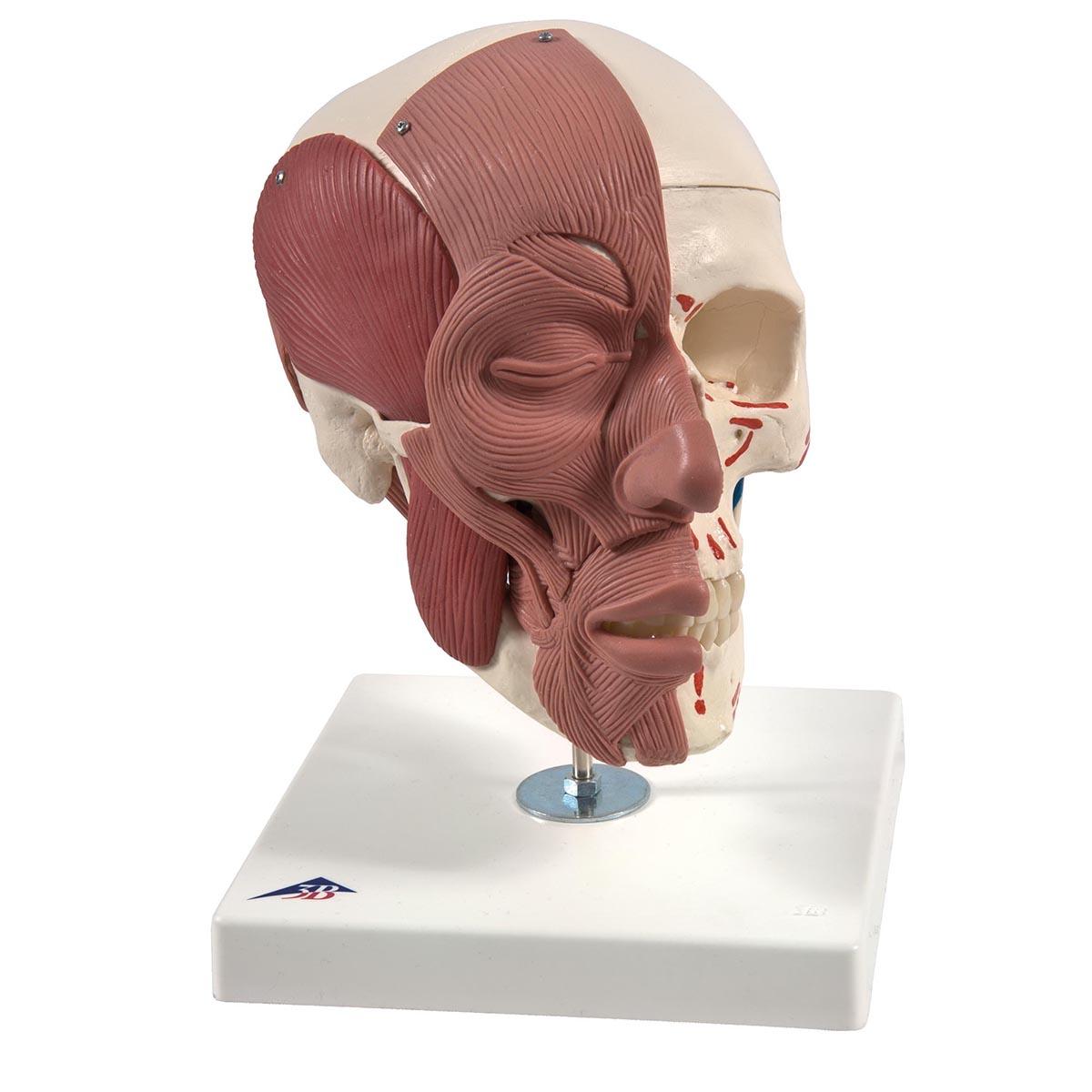Cráneo con músculos faciales | Anatomical 3D
