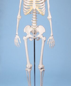 "Miniature – Skeleton ""Tom"""