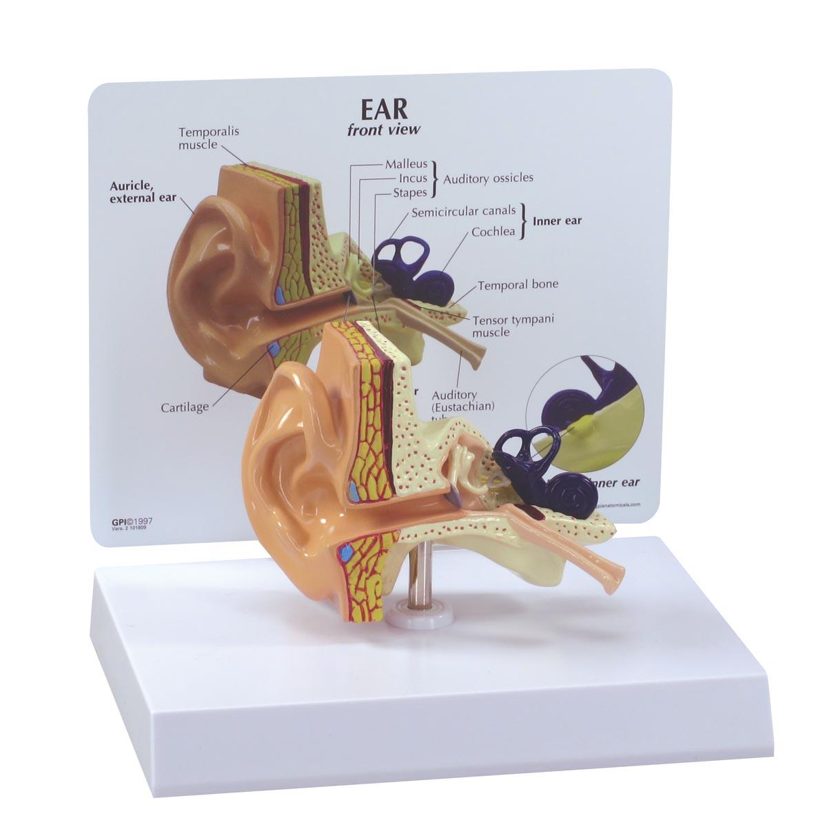 Modelo de oído | Anatomical 3D