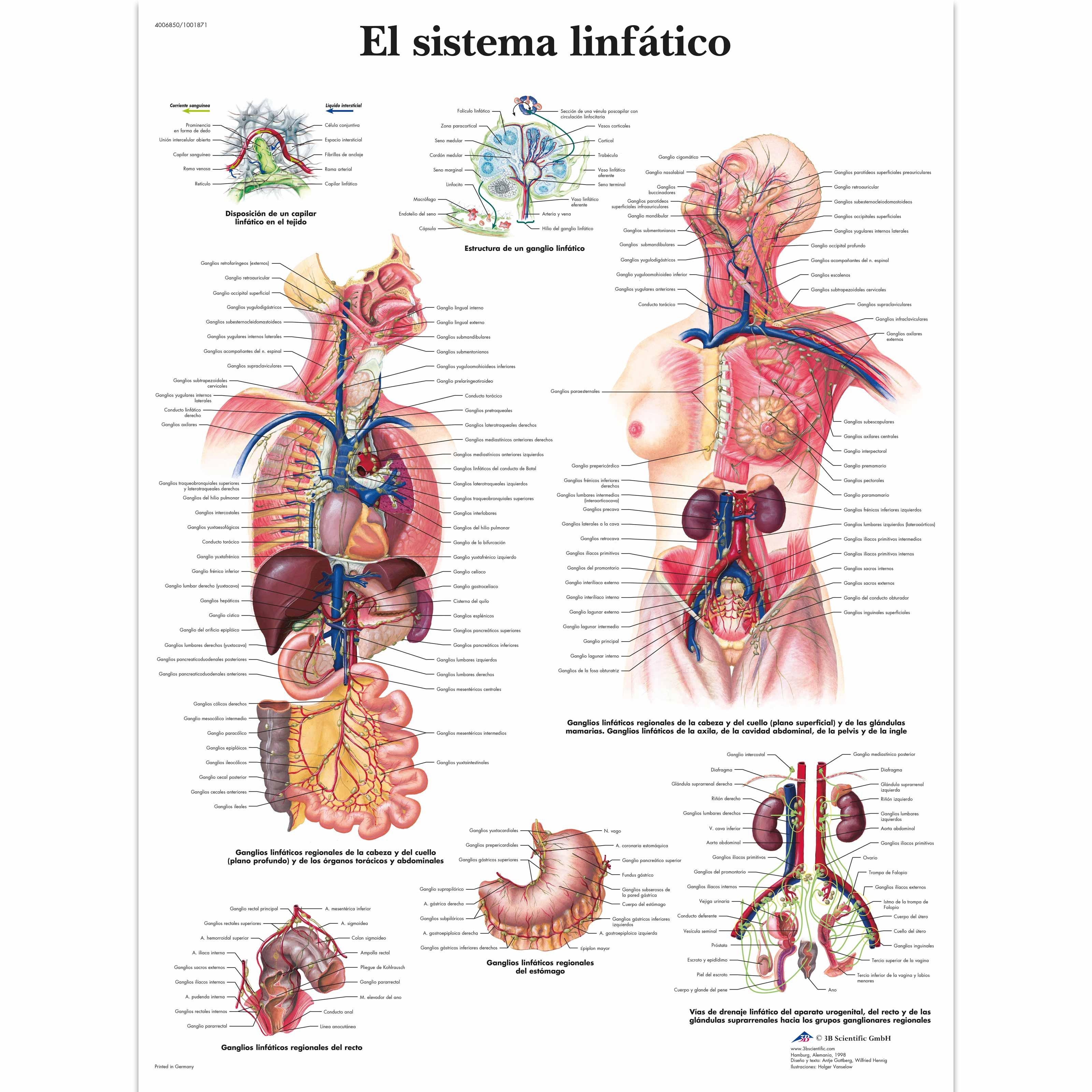 El sistema linfático Lámina | Anatomical 3D
