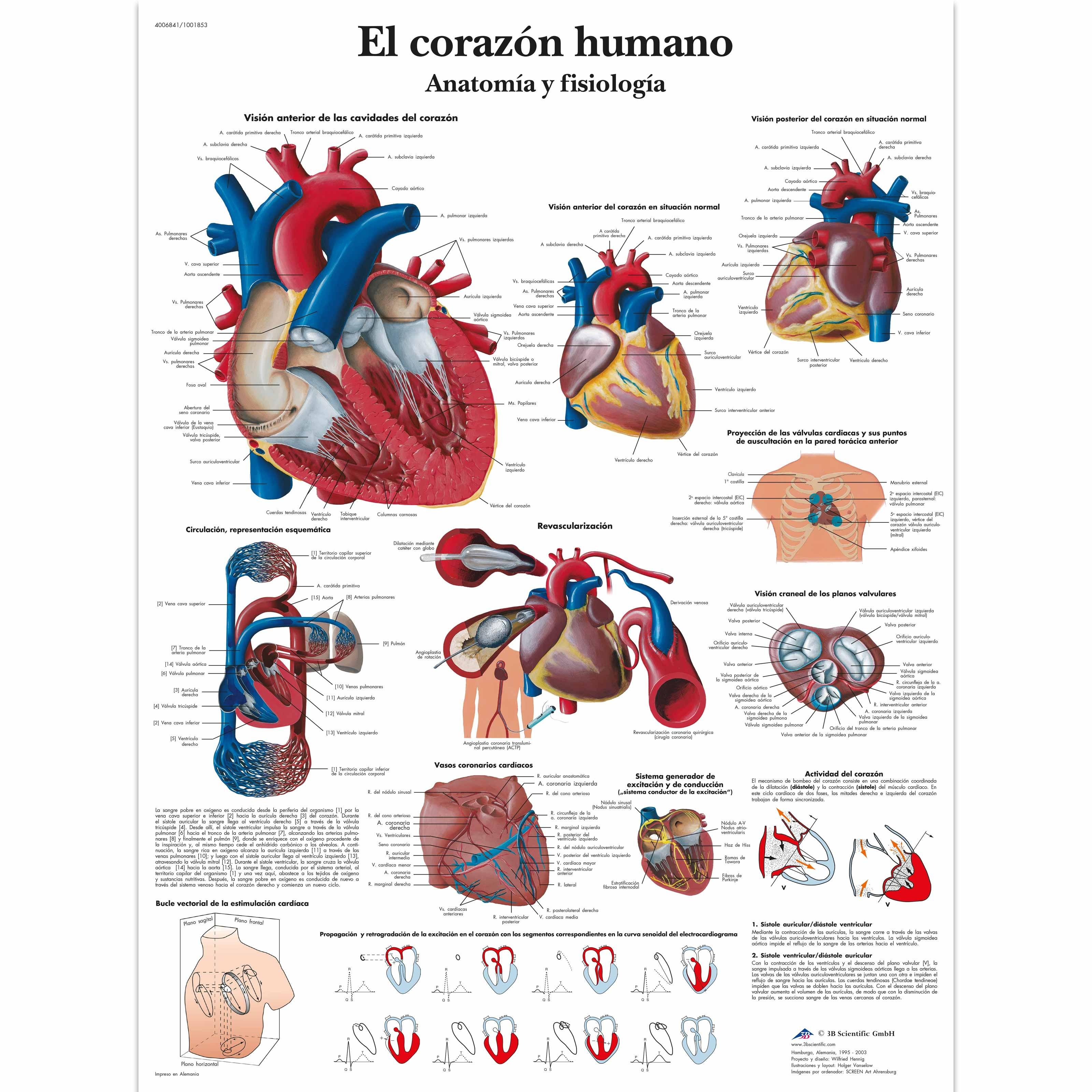 El corazón humano – Anatomía y fisiología Lámina | Anatomical 3D